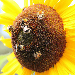 flower bee sunflower bees summer