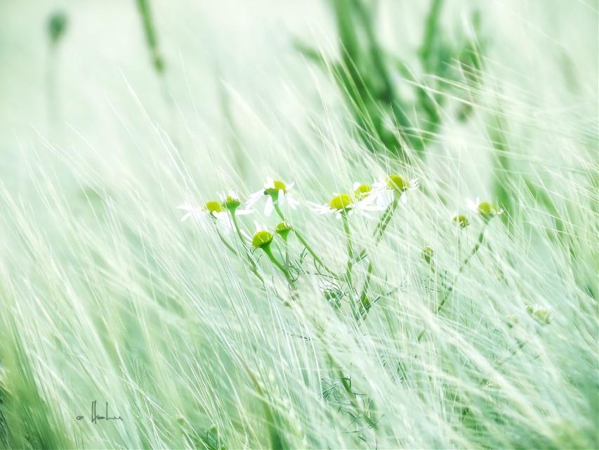 #limegreen  #field  #naturephotography  #chamomile