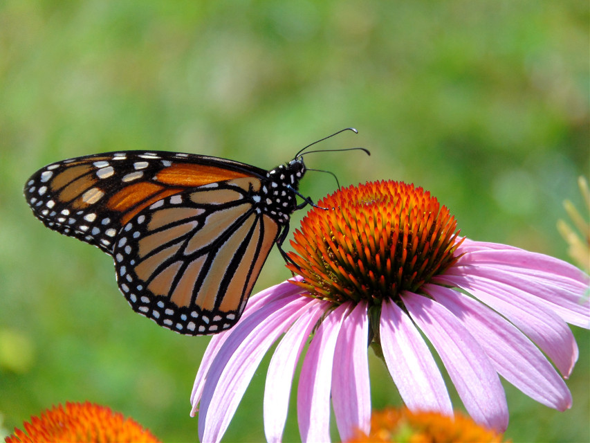 And he finally settled down for a good pose! #photography #nature #macro #flower #butterfly #monarch