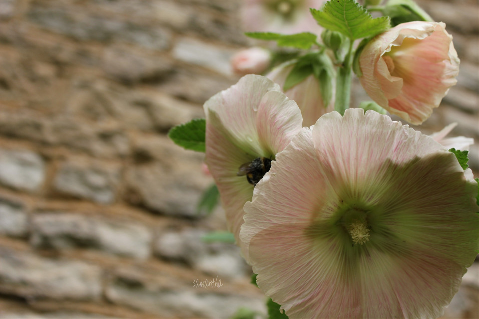 #nature #photography #flower #garden #work #pink #bee #summer