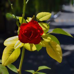 rose wppcolorful acuarela andaluc wppflowers