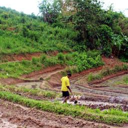farmwork rice thaipeople