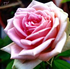 highlights rose flower love nature