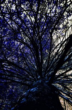 blue freetoedit bluetree blueleaves photography
